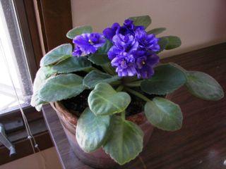 Mom's violet